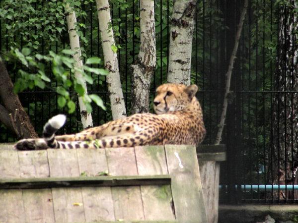 Новосибирский зоопарк, прогулка Гепард