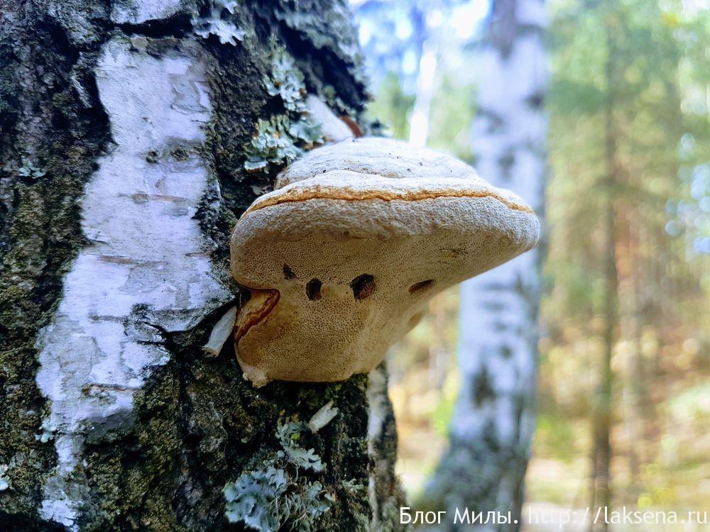 Необычные грибы: удивительная форма трутовик