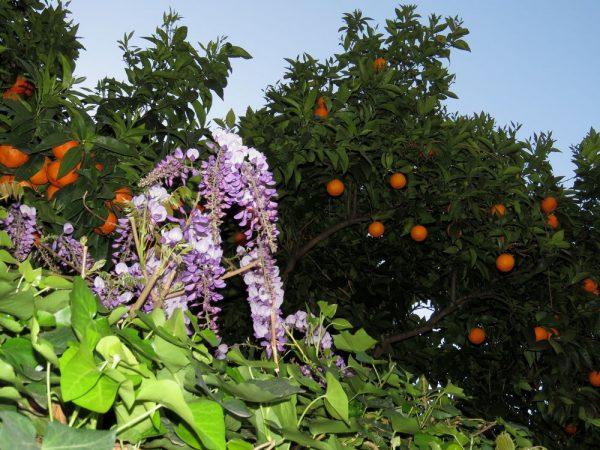 Цветы Италии Апельсины, Citrus sinensis