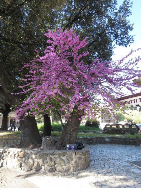 Цветы Италии Багряник рожковый или Церцис европейский, Cercis siliquastrum
