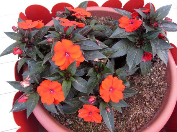 Цветы Италии Бальзамин новогвинейский