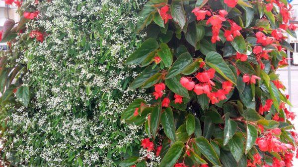 Цветы Италии Бегония вечноцветущая (В. semperflorens)