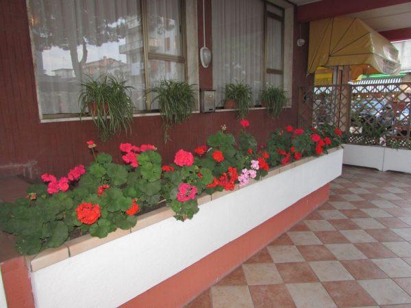 Цветы Италии Пеларгония, герань (Pelargonium)