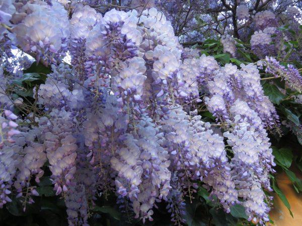 Цветы Италии Глициния (Glicinia) или вистерия (Wisteria)