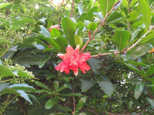 Цветы Италии Гранат (Punica)