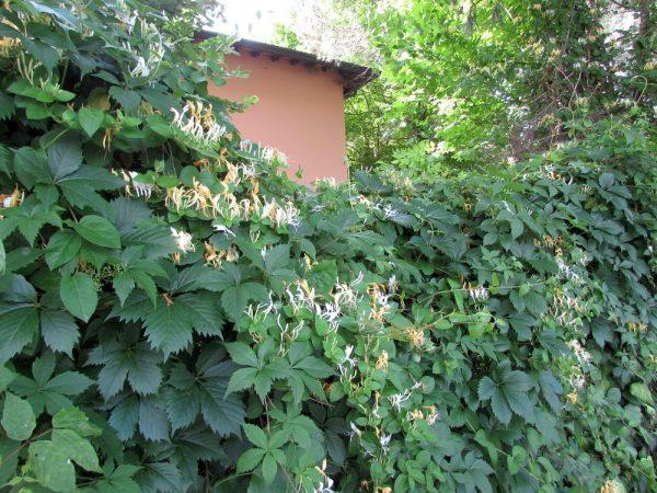 Цветы Италии Жимолость японская ( Lonicera japonica)
