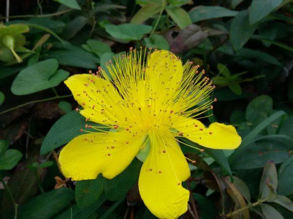 Цветы Италии Зверобой чашечковидный, или Зверобой чашечный (Hypericum calycinum)