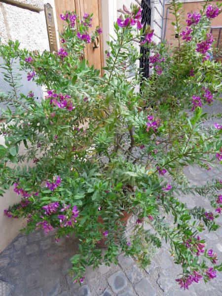 Цветы Италии Истод миртолистный (Polygala myrtifolia)