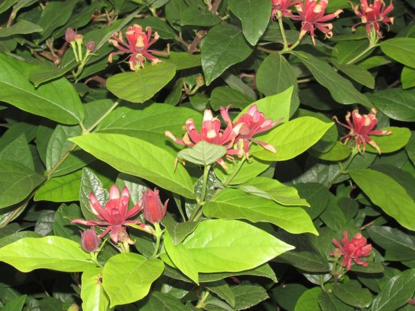Цветы Италии Каликант цветущий (Calycanthus floridus)