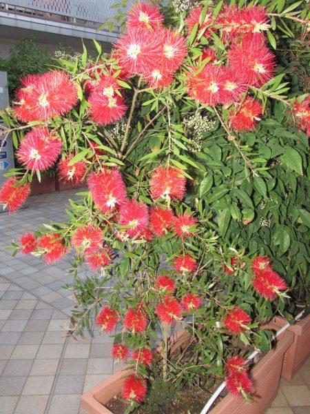 Цветы Италии Каллистемон, Красивотычиночник, или Краснотычиночник (Callistemon citrinus)