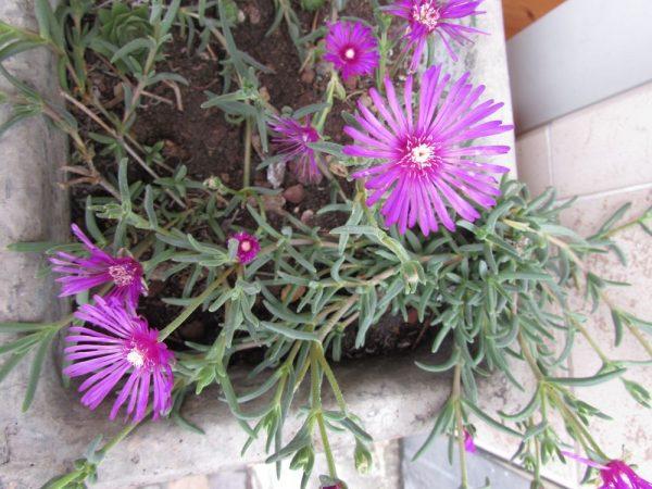 Цветы Италии Лампрантус