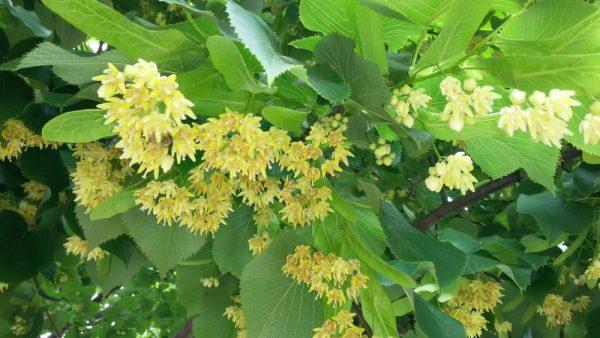 Цветы Италии Липа (Tília)
