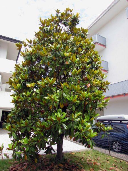 Цветы Италии Магнолия крупноцветковая (Magnolia grandiflora)