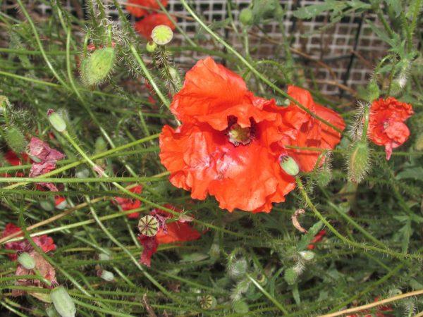 Цветы Италии Мак самосейка (Papaver rhoeas)