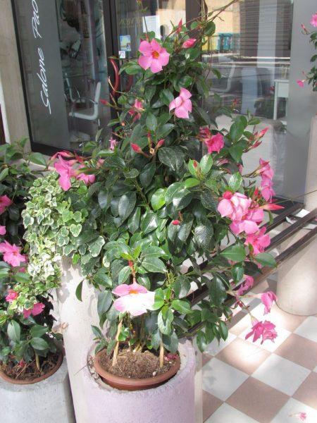 Цветы Италии Мандевилла (Mandevilla), или Дипладения