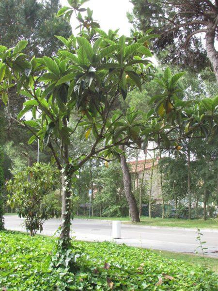 Цветы Италии Мушмула японская, Eriobotrya japonica