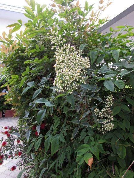 Цветы Италии Нандина домашняя (Nandina domestica)