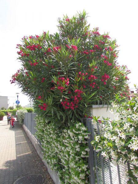 Цветы Италии Олеандр (Nerium оleander)