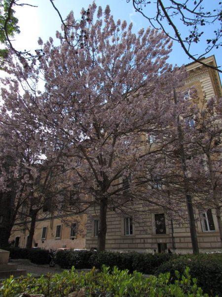 Цветы Италии Павловния (Paulownia)