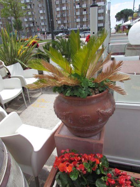 Цветы Италии Саговник поникающий (Cycas revoluta)