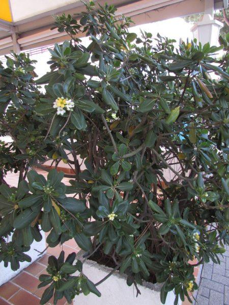 Цветы Италии Смолосемянник обыкновенный, пахучий, Тобира (Pittosporum tobira)