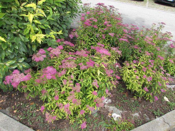 Цветы Италии Спирея японская (spiraea japonica)