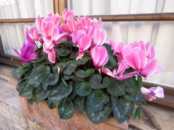 Цветы Италии Цикламен, или Дряква, Cýclamen