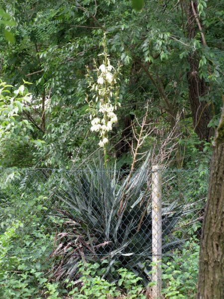Цветы Италии Юкка (Yucca)