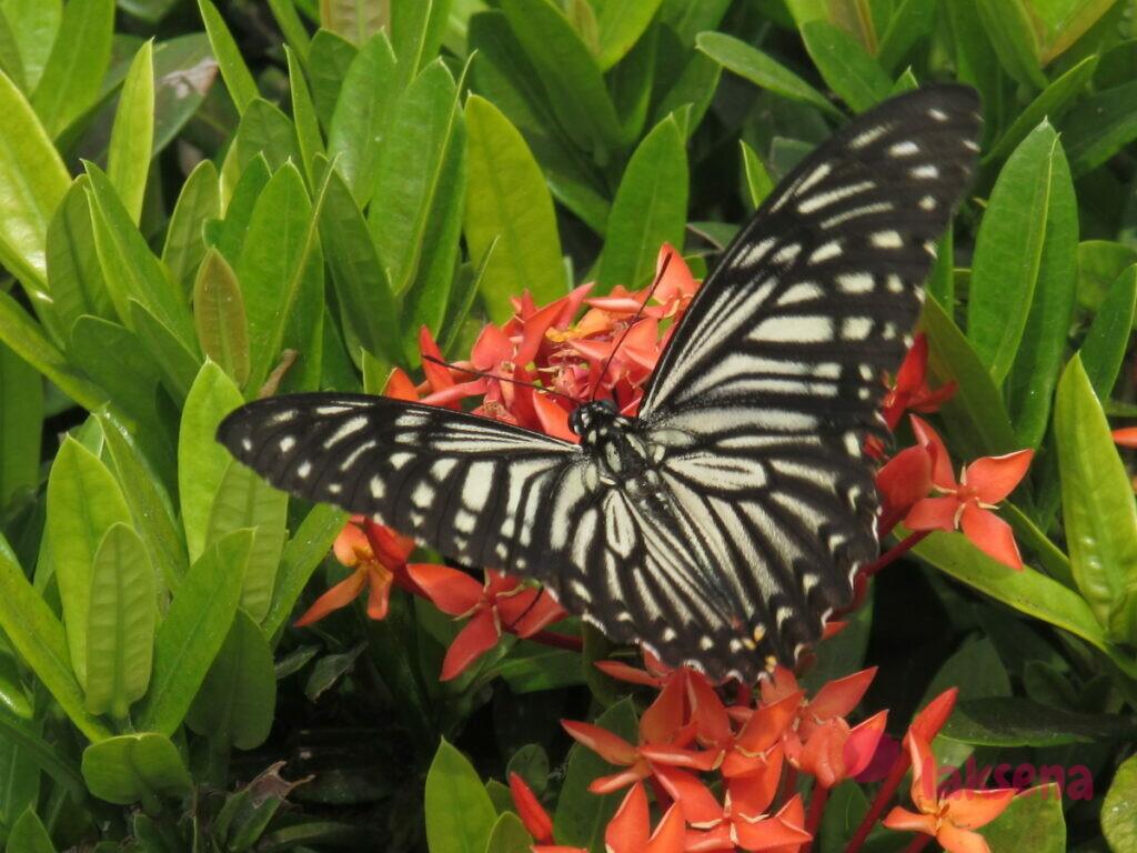 бабочка данаида