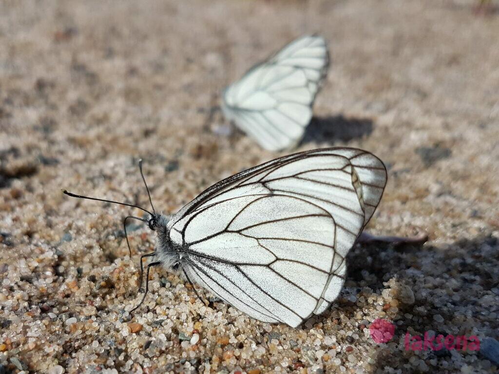 бабочки боярышницы насекомые сибири