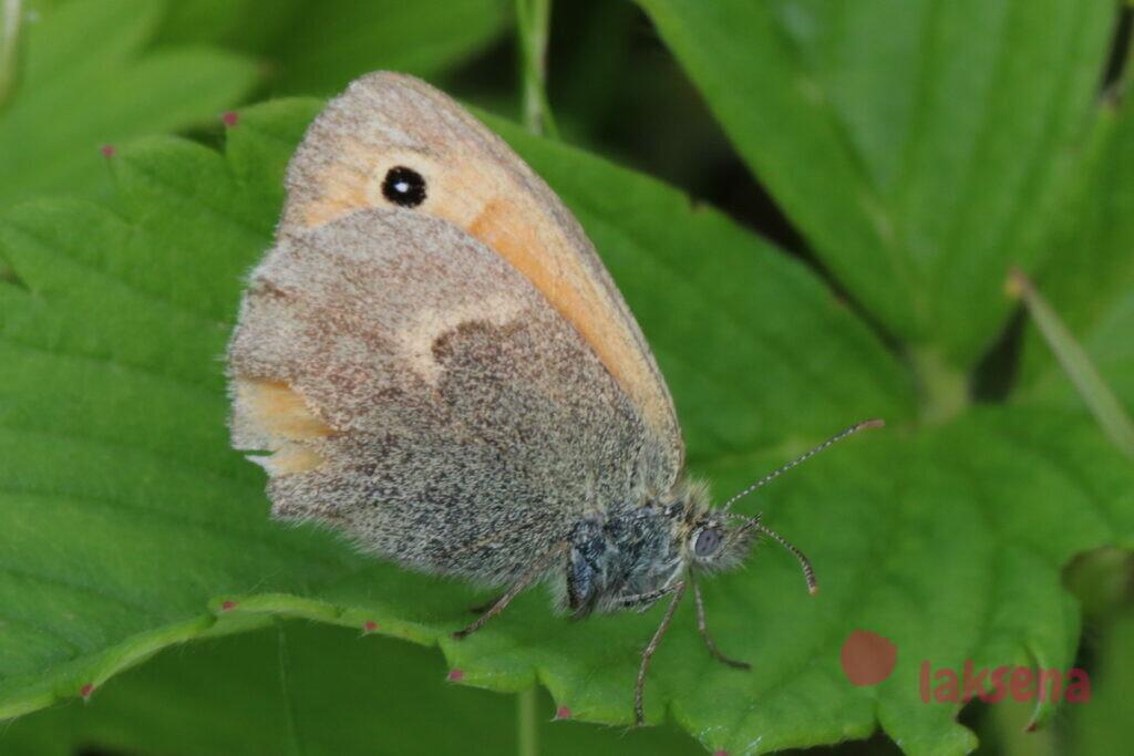 воловий глаз бабочки сибири