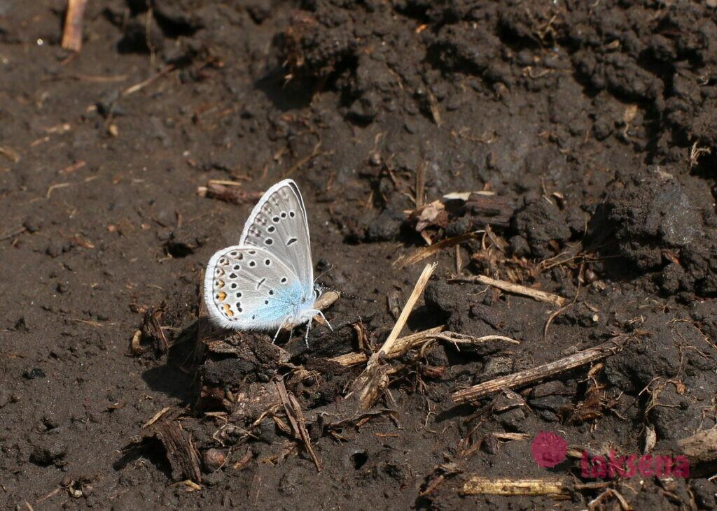 Загадки про бабочку бабочки сибири голубянка