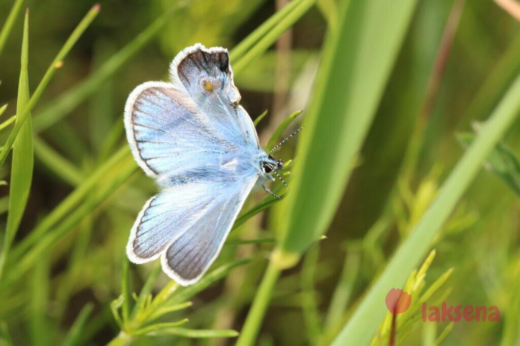 сибирские бабочки голубянка икар