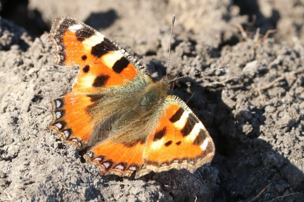 Загадки про бабочку бабочки сибири крапивница