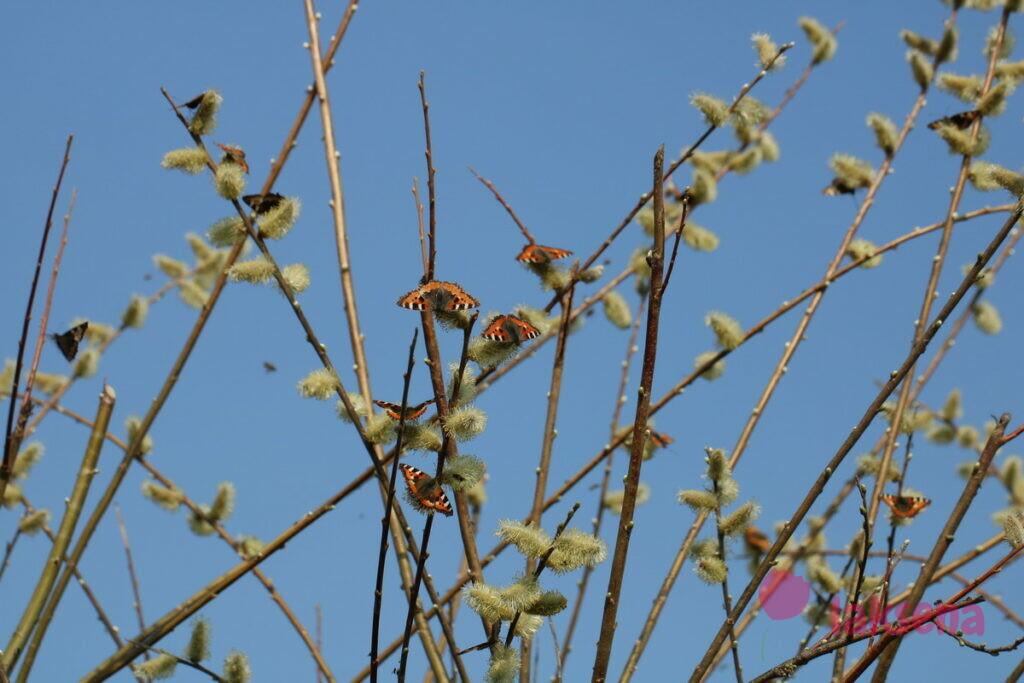 бабочки сибири