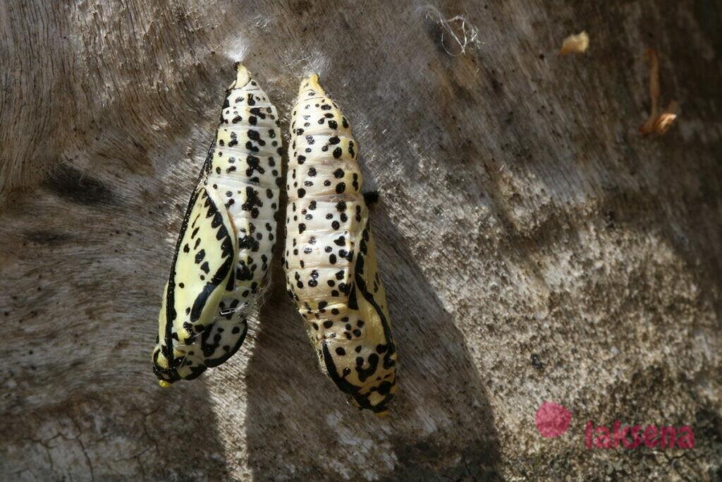 боярышица бабочки сибири