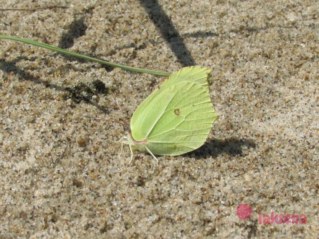 Загадки про бабочку бабочки сибири лимонница