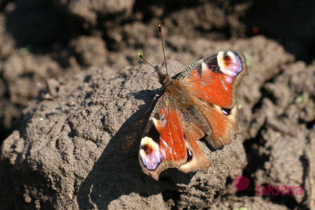 бабочки сибири павлиний глаз