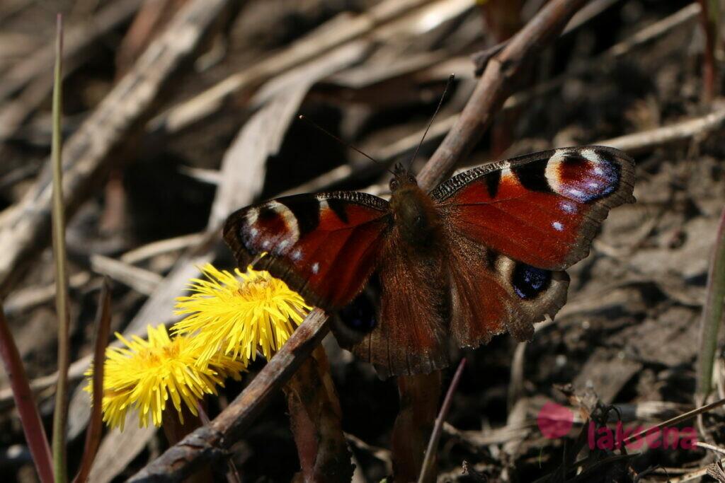 бабочка павлиний глаз