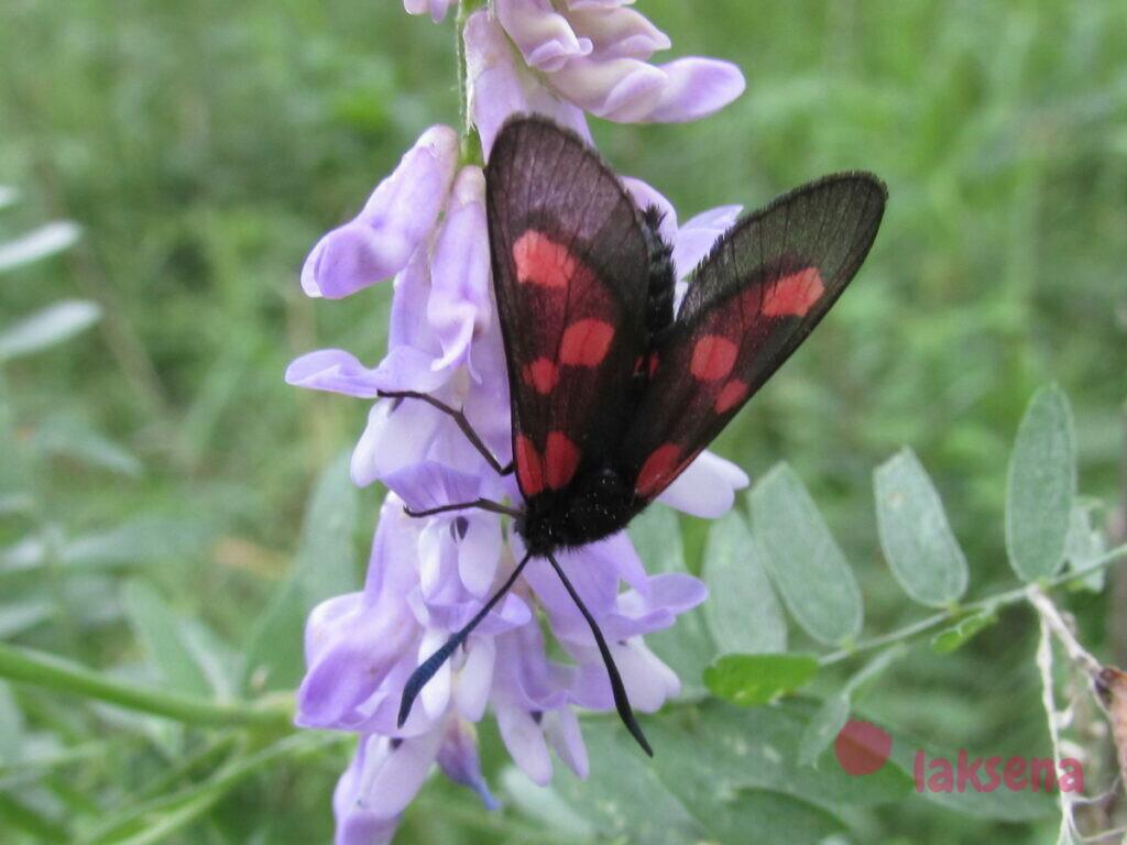 сибирские бабочки пестрянка таволговая