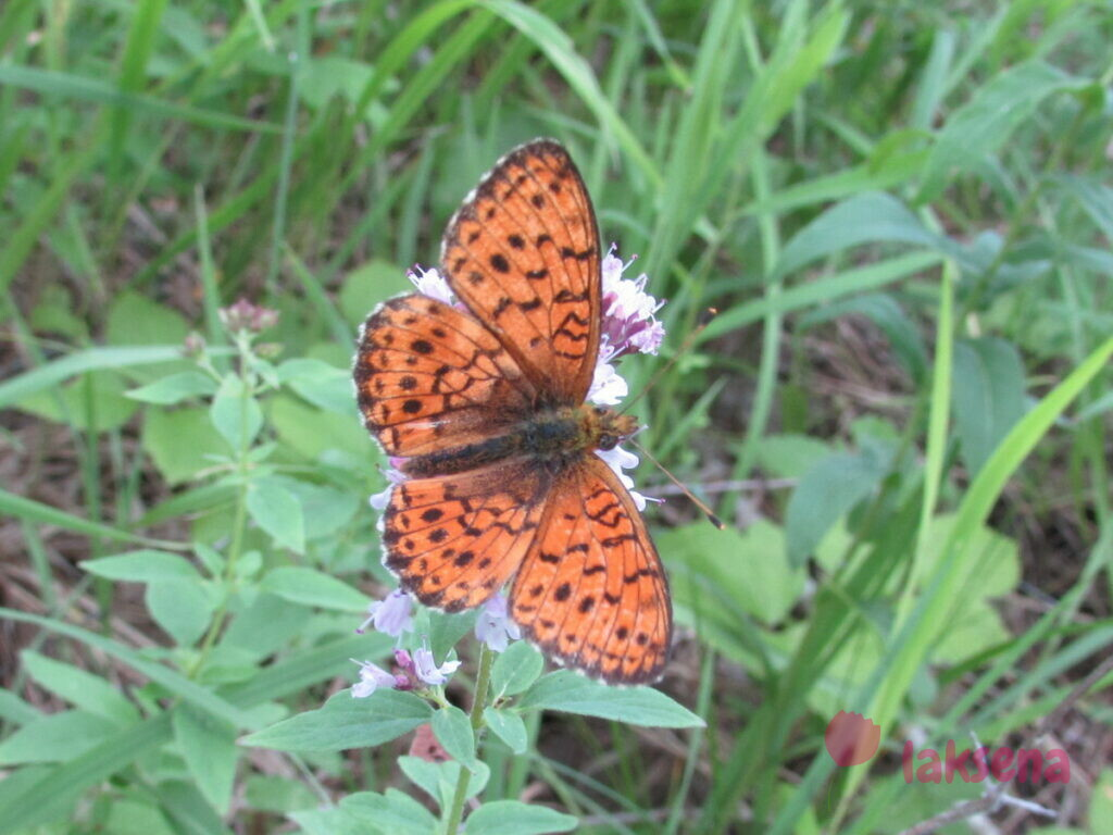 Загадки бабочки сибири шашечница