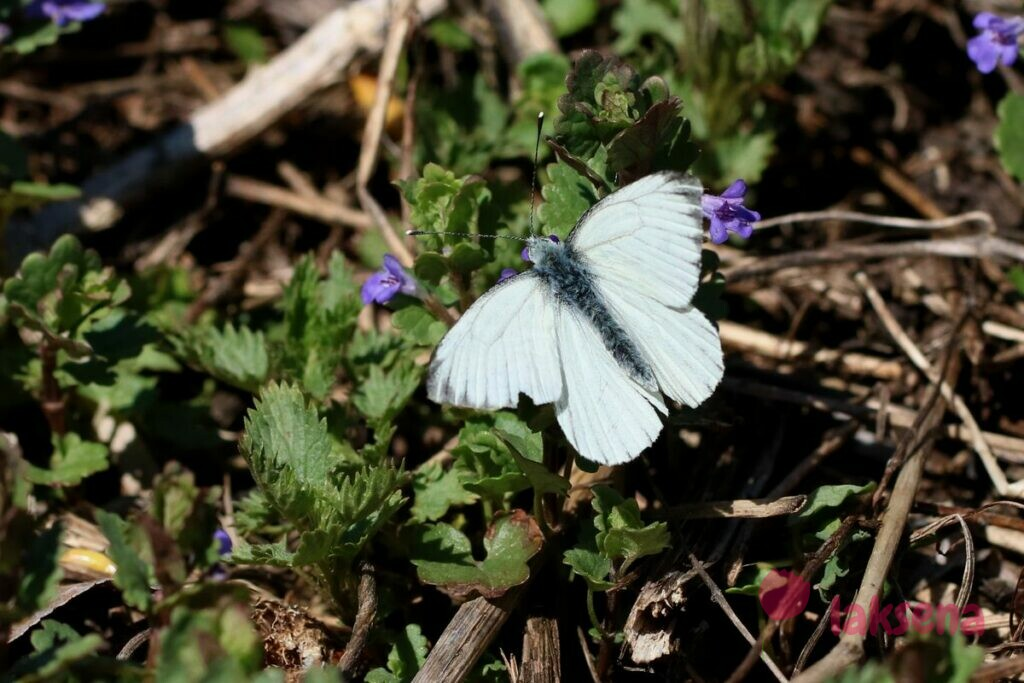 Брюквенница бабочки сибири