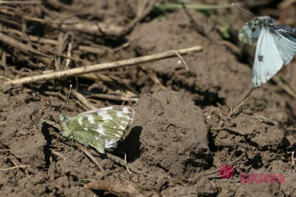 Зорька белая бабочки сибири