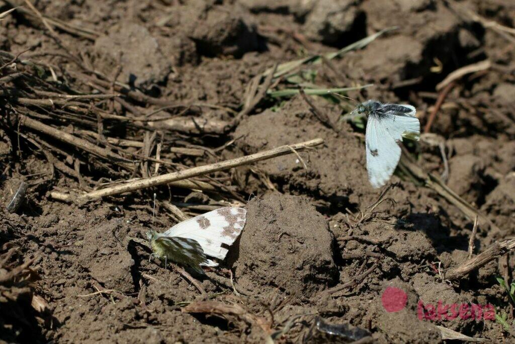 Зорька белая сибирские бабочки