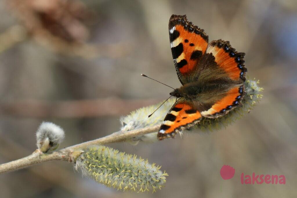 сибирские бабочки крапивница
