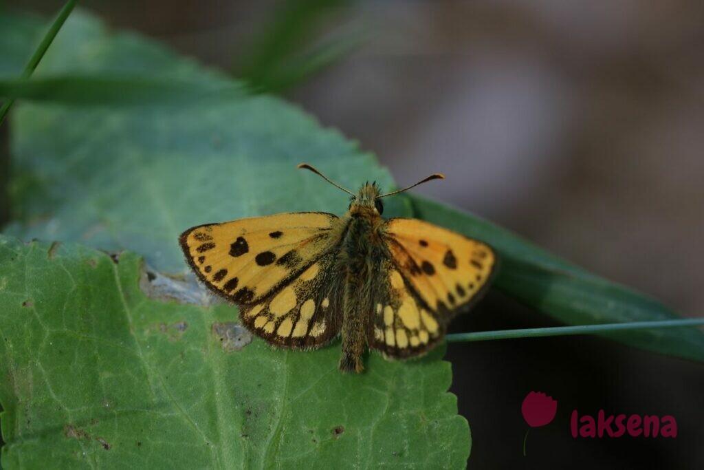Крепкоголовка лесная, или толстоголовка лесная бабочки сибири новосибирской области