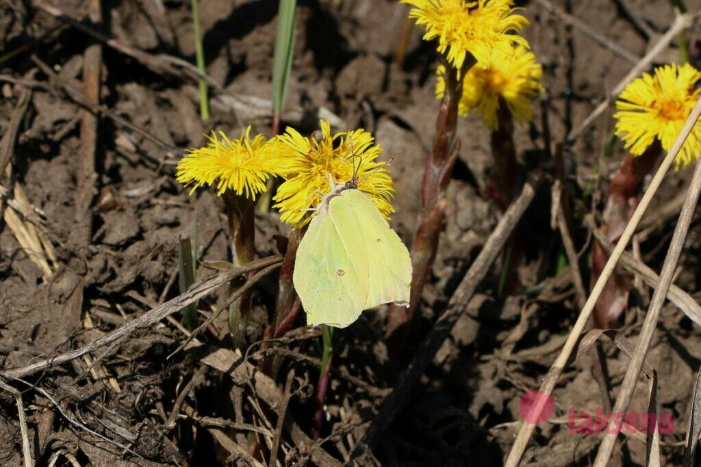 бабочки сибири лимонница