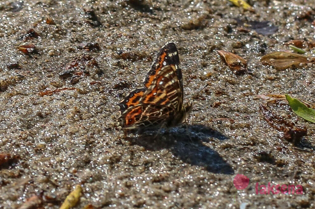 Пестрокрыльница изменчивая, весенняя форма сибирские бабочки