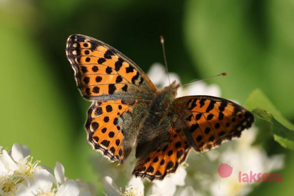 Перламутровка полевая сибирские бабочки