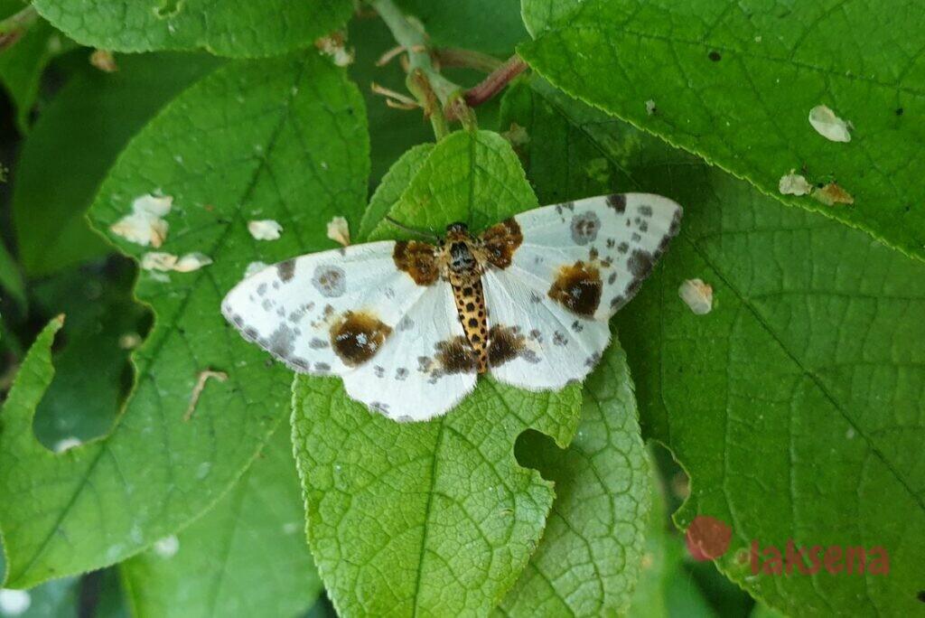 пяденица вязовая сибирские бабочки новосибирская область